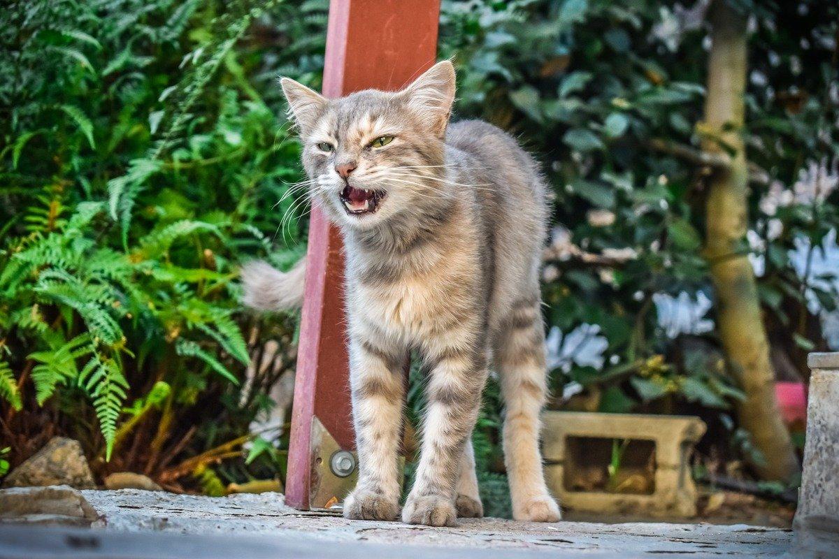 Dlaczego kot miauczy