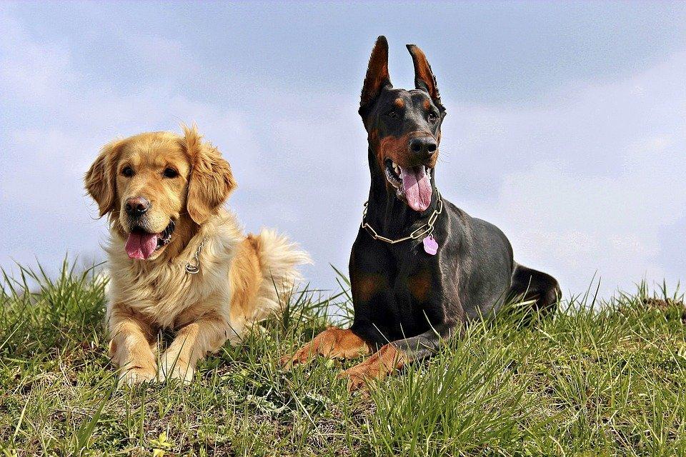 zwei-hunde-auf-gras