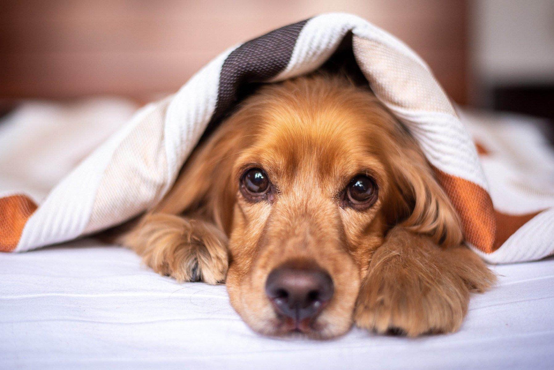 Osłabiony pies w łóżku
