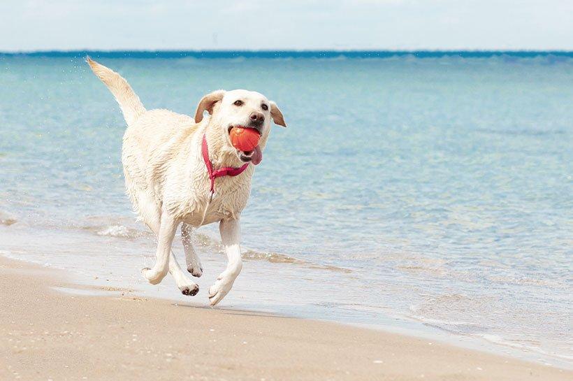 pies z piłką na plaży