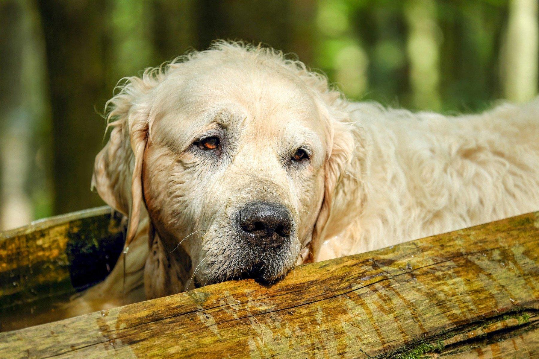Jak żywic starego psa?