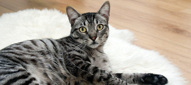 Koronawirus – Czy koty mogą zachorować?