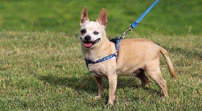 Ślepy pies: jak żyć z czworonogiem, który traci wzrok?