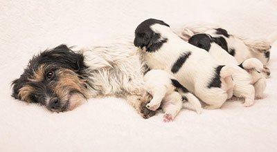 Kupno psa: jak sprawdzić hodowlę psów i znaleźć dobrego hodowcę?