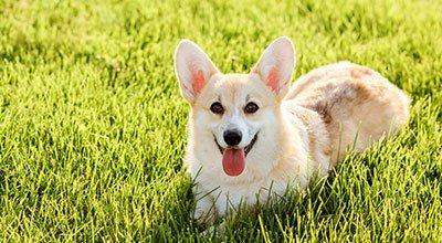 Głuchy pies: życie z czworonogiem, który nie słyszy