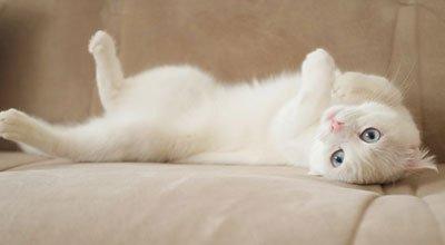 Angora turecka: jedna z najstarszych ras kotów na świecie