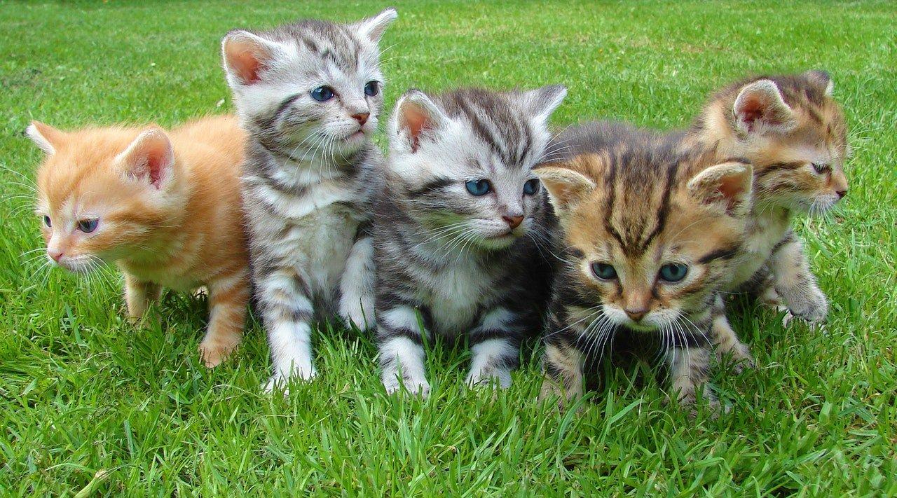 Niewydolność nerek u kotów. Co robić?
