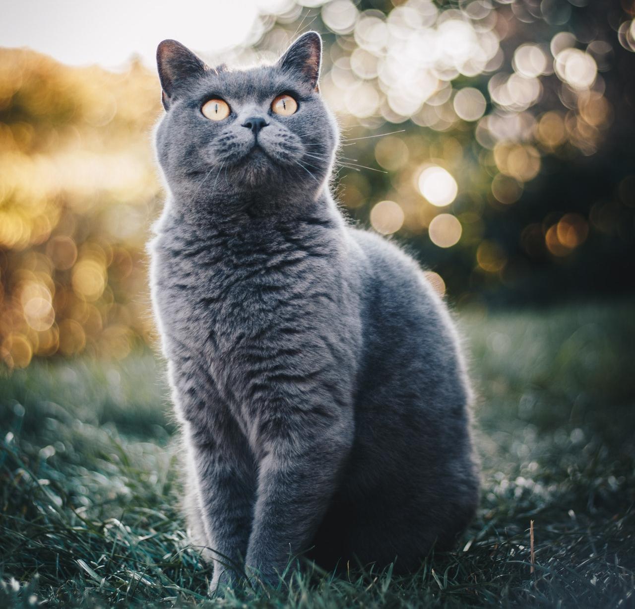 Kot brytyjski - Ciekawe fakty o tej rasie kotów (charakter i wygląd)