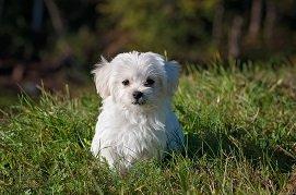 Matlańczyki - Idealne psy do towarzystwa