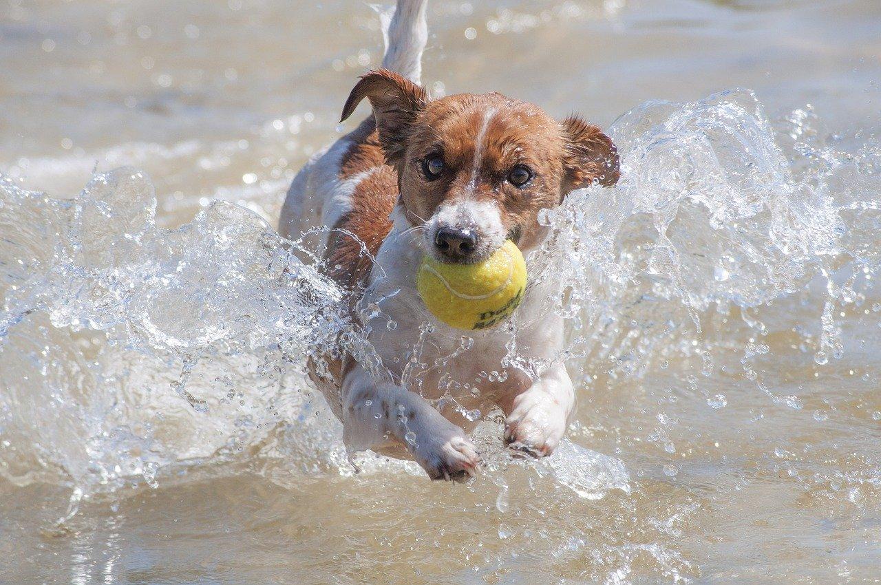 Jack Russell Terrier: mały piesek z wielkim ego (opis rasy)