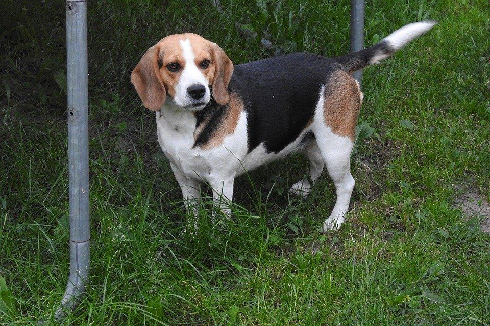Zapalenie pęcherza moczowego u psa: objawy i leczenie (i zapobieganie)