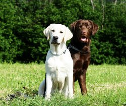 Jak przyzwyczaić psy do siebie?