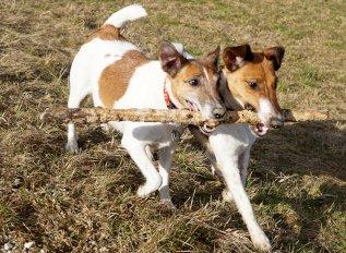Jack Russell Terrier: mały piesek z wielkim ego
