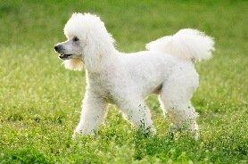 Pudel - Ciekawe fakty o tej rasie psów
