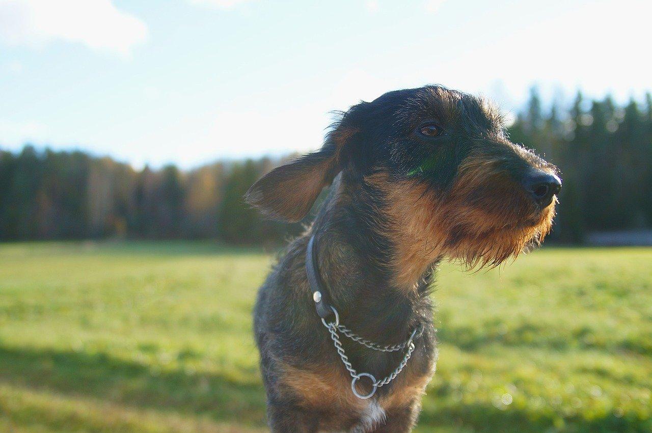 """Jamnik - """"Borsuczy Pies"""" z Niemiec"""