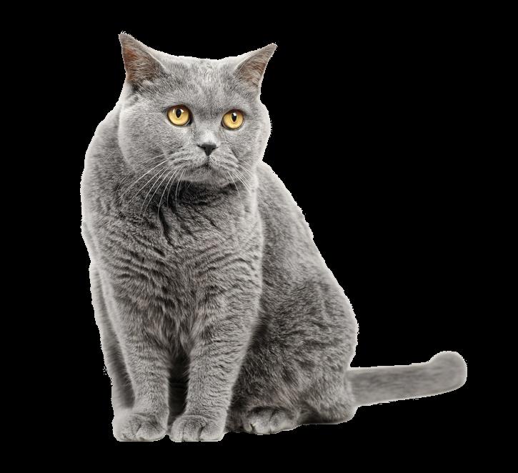Kot brytyjski - Ciekawe fakty o tej rasie kotów