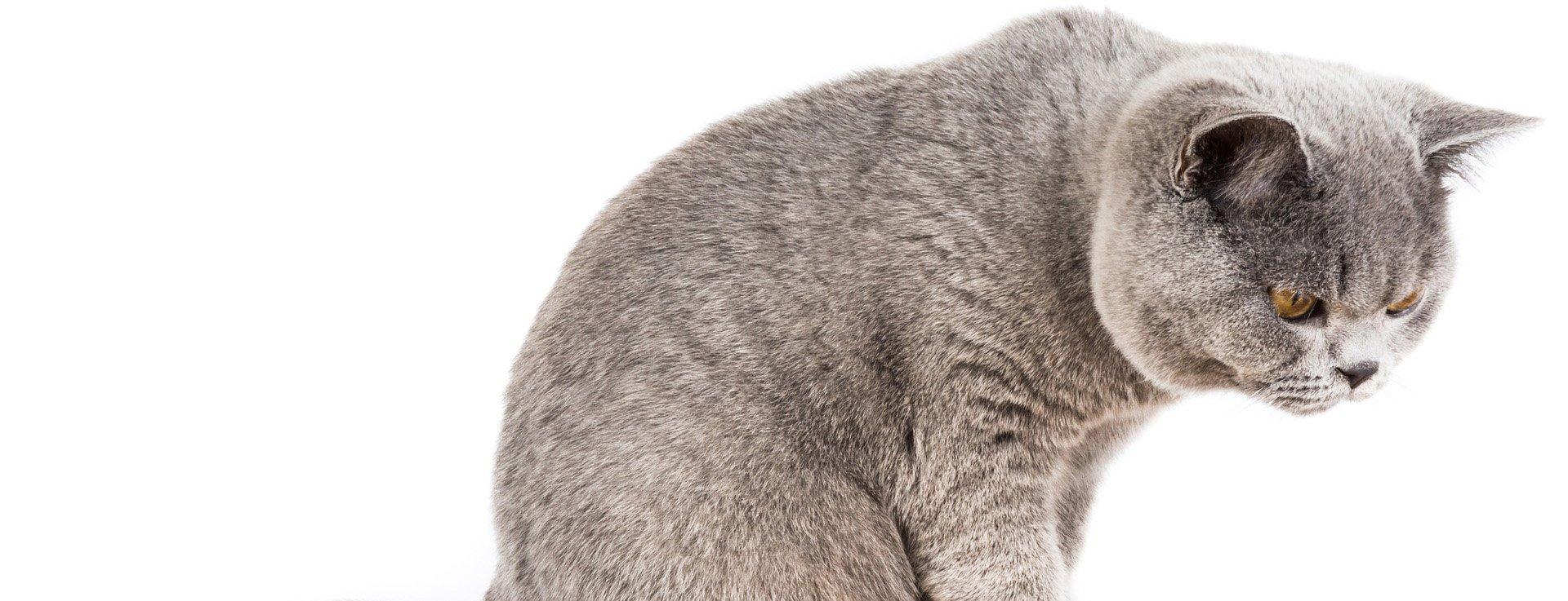 Dlaczego kot wymiotuje?