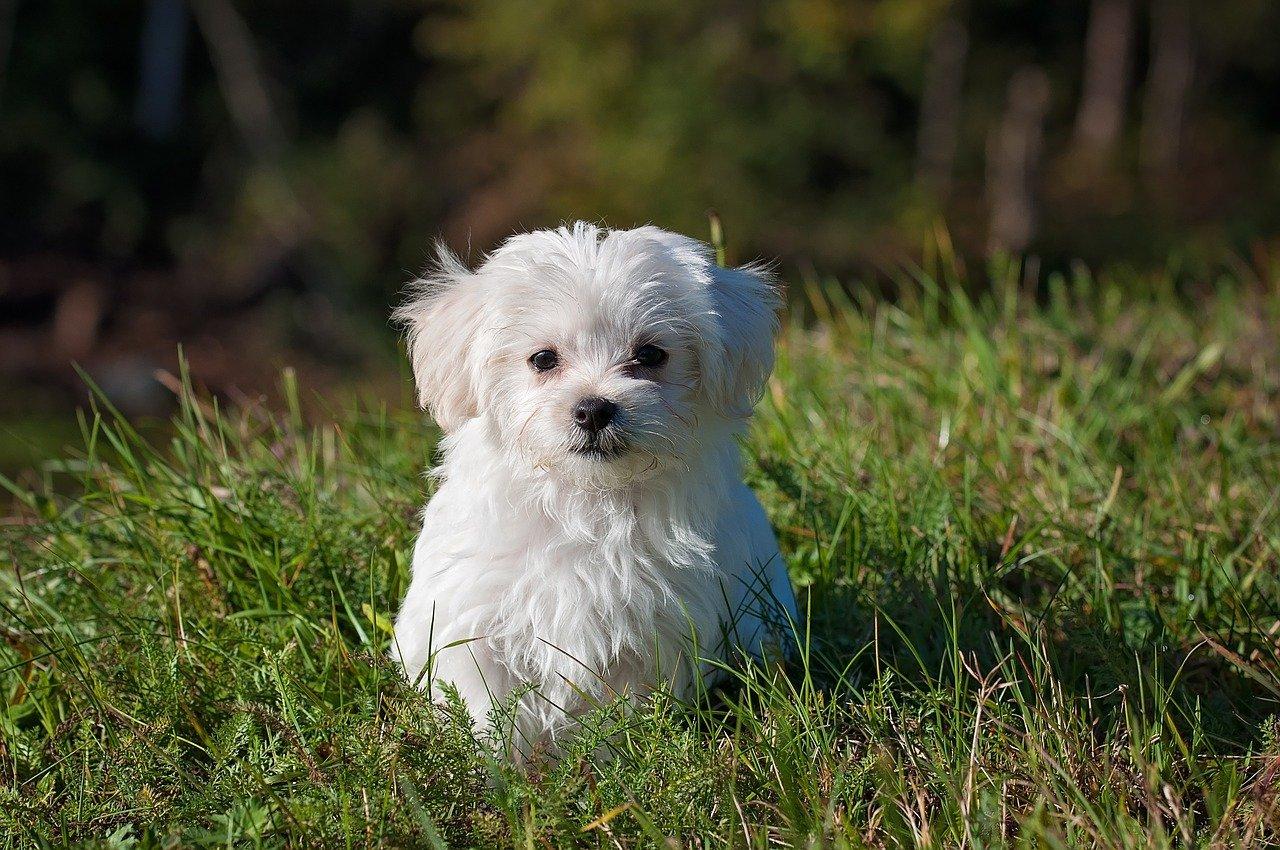 Maltańczyk - Idealny pies do towarzystwa