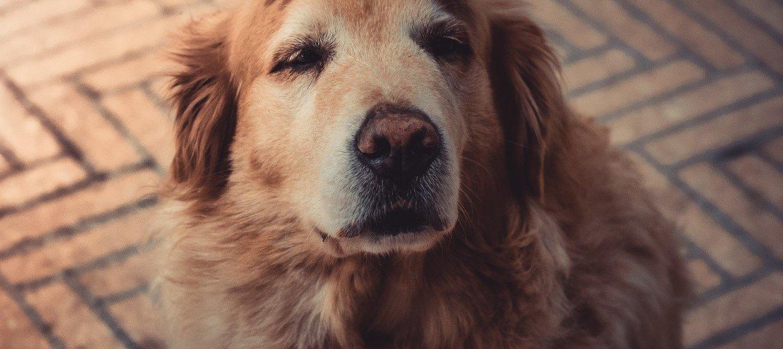 "Wiek psa – ile ""ludzkich lat"" ma Twój pupil?"