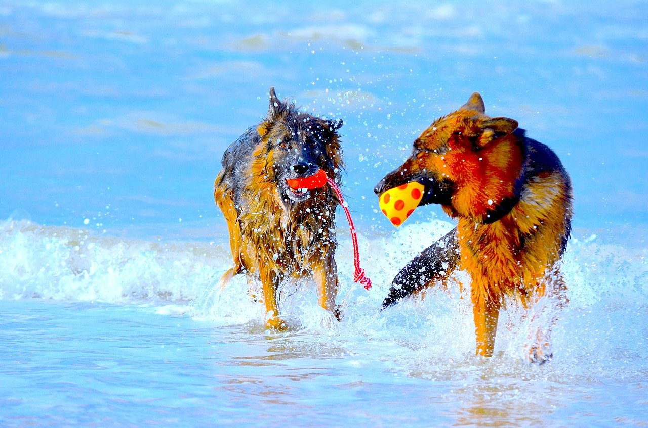 Jak przyzwyczaić psy do siebie nawzajem?