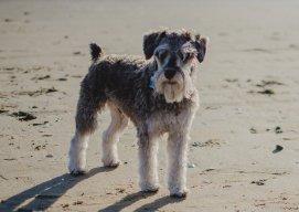 Sznaucer – Aktywny Pies dla Każdej Rodziny