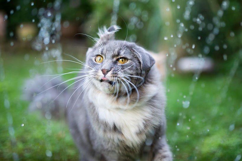 Szaro-biały kot pije świeżą wodę w ogrodzie.