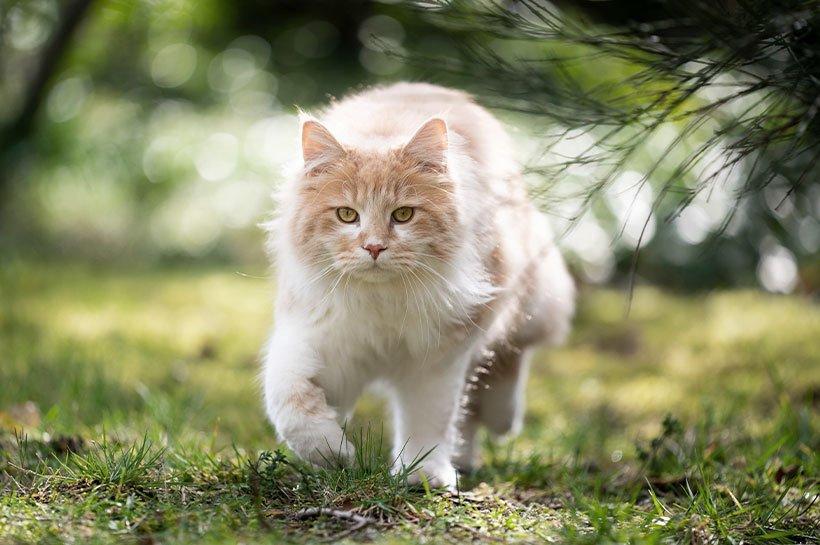 Biało-rudy kot biegnący na zewnątrz w letnie upały