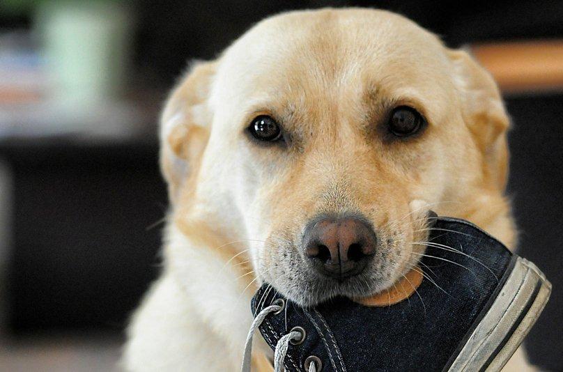Pies-pomaga-w-sprzątaniu