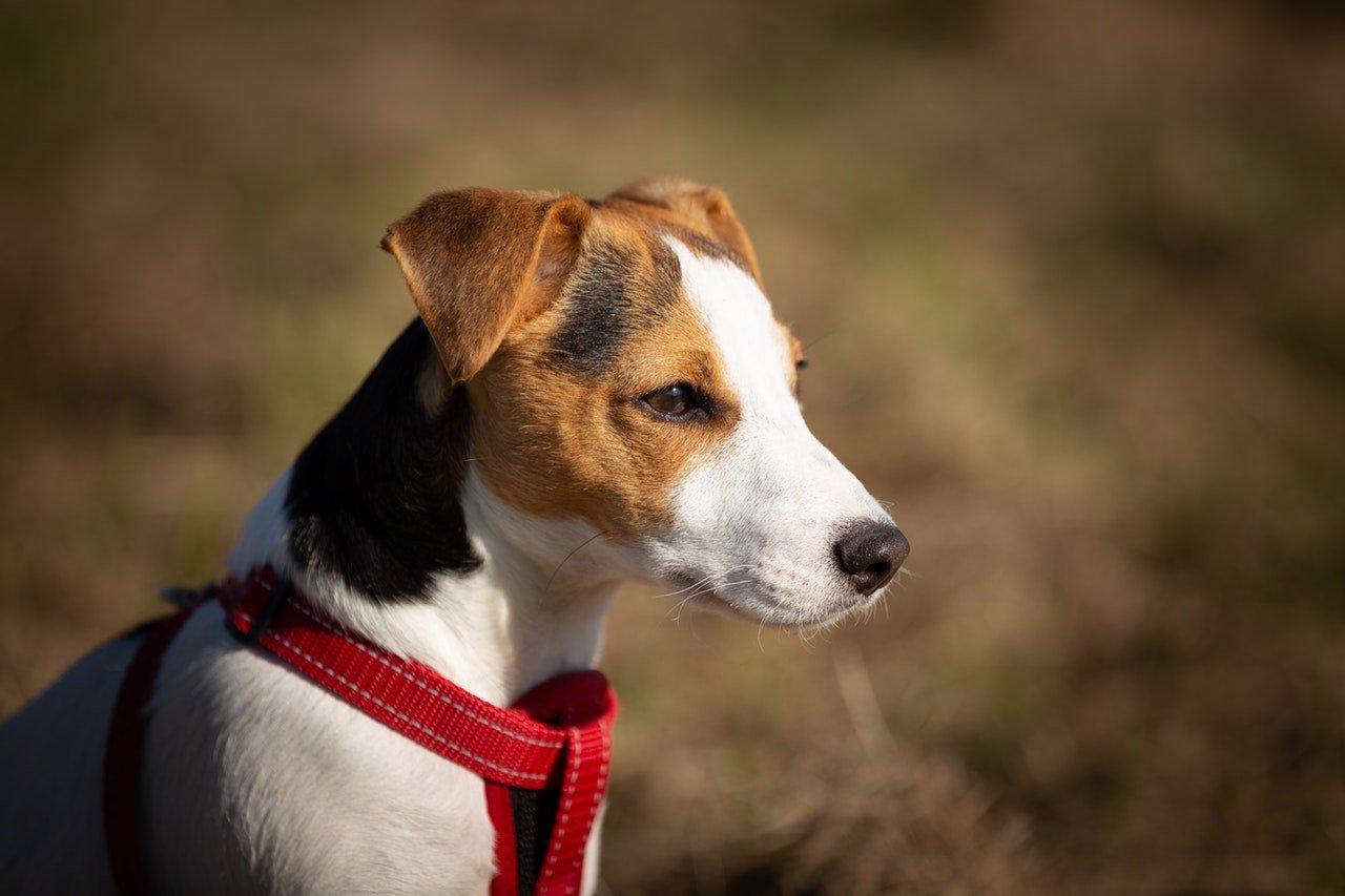 Jack Russell Terrier - cechy charakteru