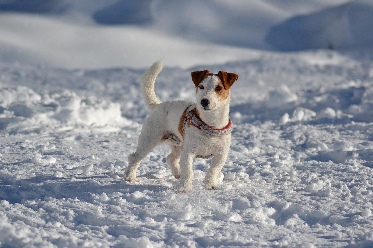 Jack Russell Terrier: krępa budowa ciala