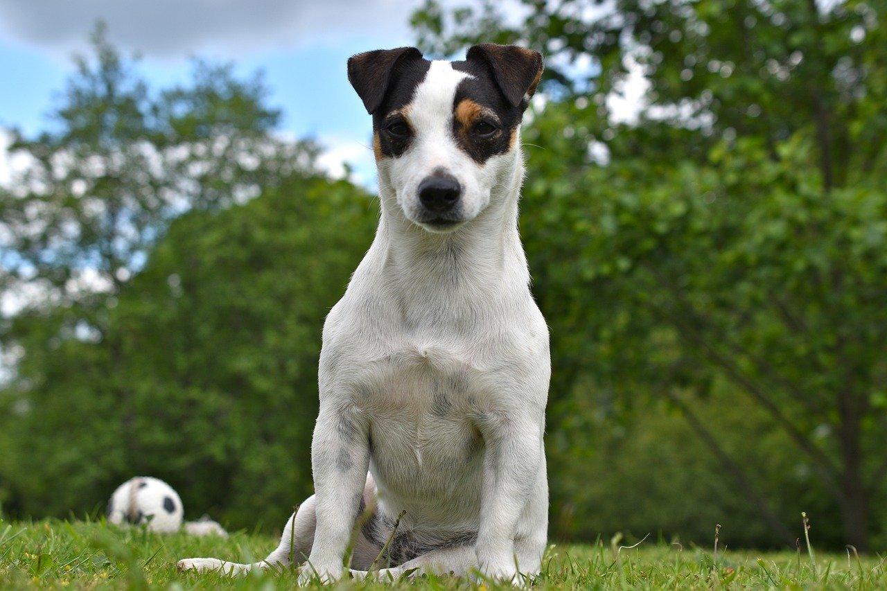 Pies Jack Russell - dla osob aktywnych