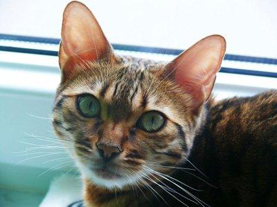 Objawy niewydolności nerek u kotów